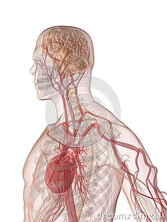 Cerebro humano y corazón
