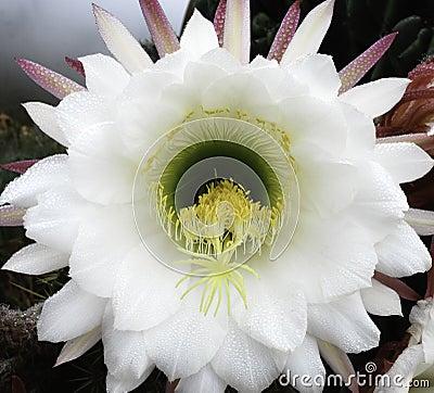 Cereus Peruvianus Cactus Blossom