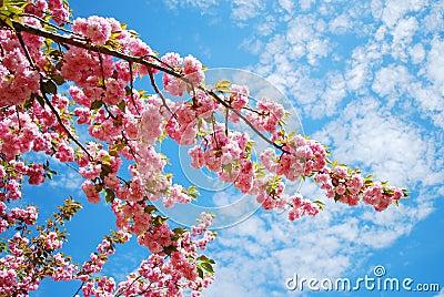 Cereza japonesa