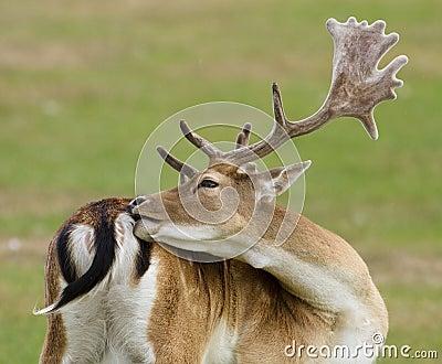 Cerfs communs affrichés avec des klaxons