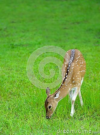 Cerfs communs dans le sauvage