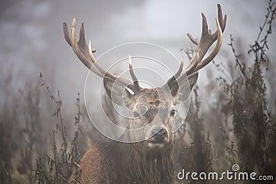 Cerfs communs en brouillard