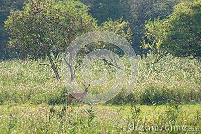 Cerfs communs femelles