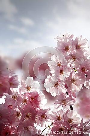 Cerise de fleur
