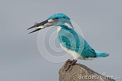 Cerulean kingfisher capture a fish