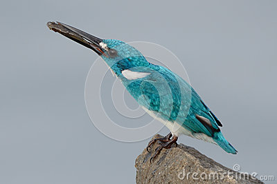 Cerulean kingfisher eating a fish