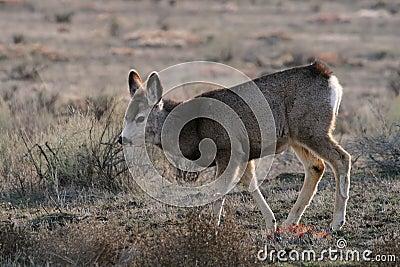 Cervatillo de los ciervos de mula