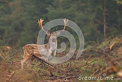 Cervos de Fallow que olham a câmera
