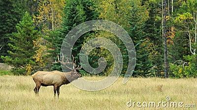 Cervos em Canadá filme
