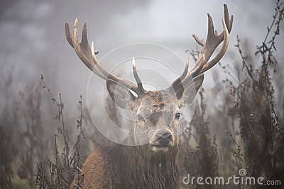 Cervos na névoa