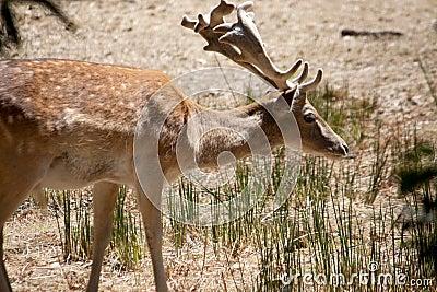 Cervus Dama deer