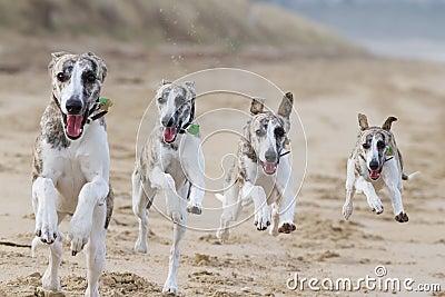 Cães Running