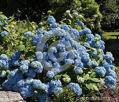 Cespuglio blu dell 39 ortensia fotografia stock immagine - Ortensia blu ...