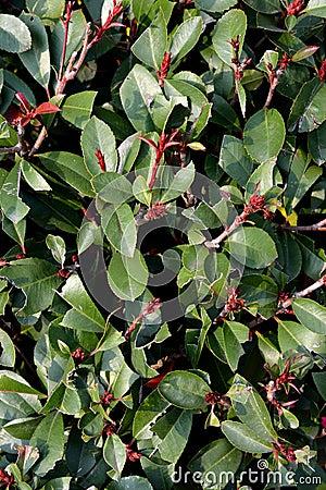 Cespuglio verde di michelia