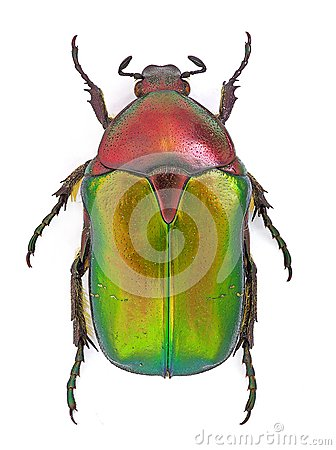 Free Cetonia Aurata Royalty Free Stock Photo - 26053155