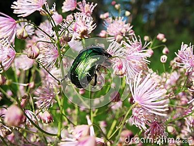 Cetonia aurata, scarab family (Scarabaeidae)