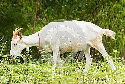 Chèvre mangeant l herbe