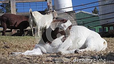 Chèvre somnolente au soleil clips vidéos
