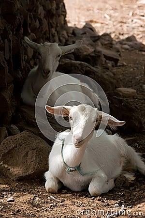 Chèvres de repos