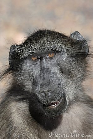 Free Chacma Baboon Portrait Royalty Free Stock Image - 15859666
