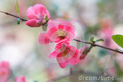 chaenomeles die japanische quitte rosa blumenhintergrund des fr hlinges stockfoto bild 56214379. Black Bedroom Furniture Sets. Home Design Ideas