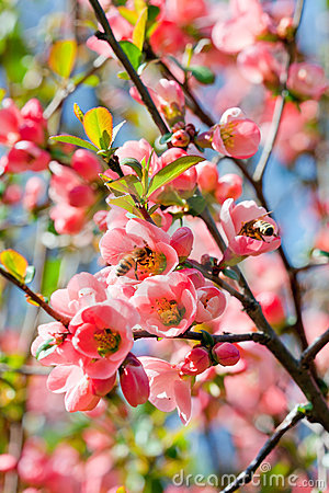 Free Chaenomeles Japonica Stock Images - 24270124