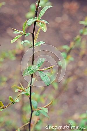 Chaenomeles lagenaria branch