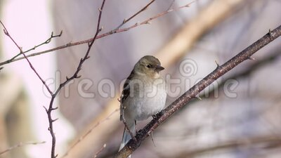 Chaffinch stock video footage