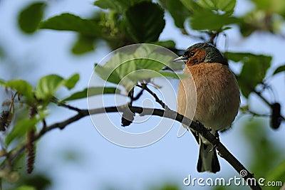 Chaffinch ( Fringilla coelebs )