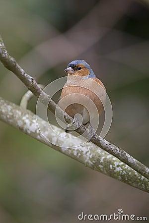 Chaffinch Fringilla coelebs, male