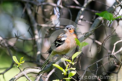 Chaffinch male in forest