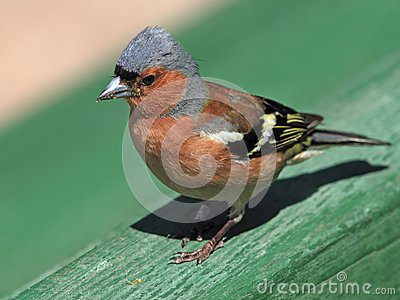 Chaffinch male portrait