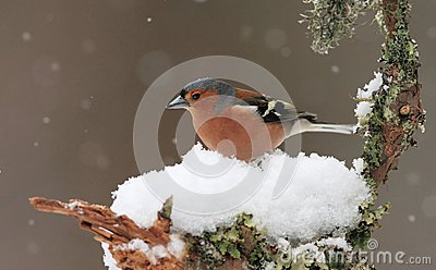 Chaffinch in Winter