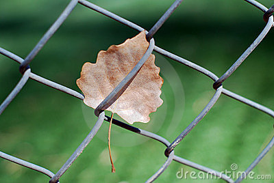 Chain link fence and dead leaf