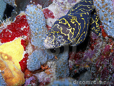 Chain Link Moray