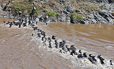 Chain of wildebeest crossing the river Mara