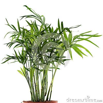 Chamaedorea plant