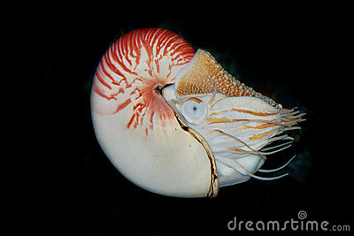 The Chambered Nautilus or Nautilus pompilius