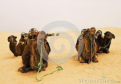 Chameaux sur le désert