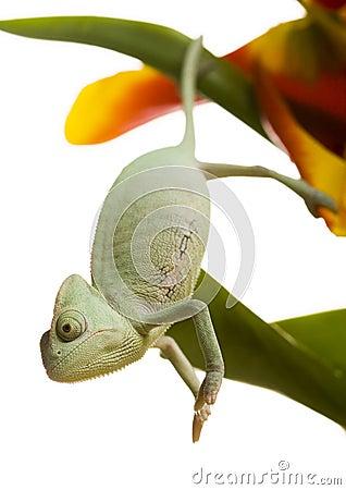 Free Chameleon Stock Photos - 1891283