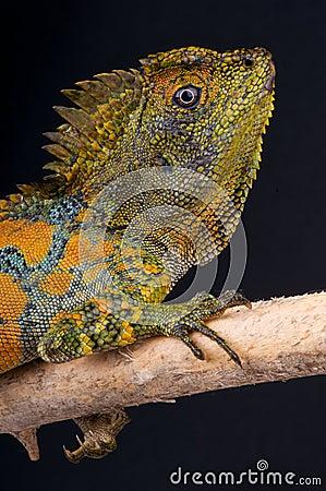 Chameleon agama male