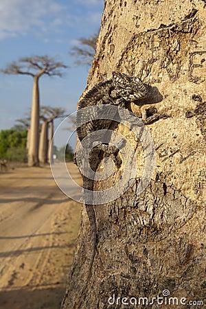 Chameleon on the baobab  tree