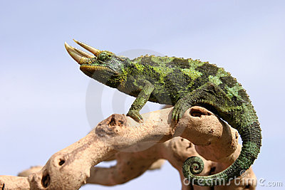 Chameleon on branch with blue sky