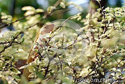 The chameleon in the bush