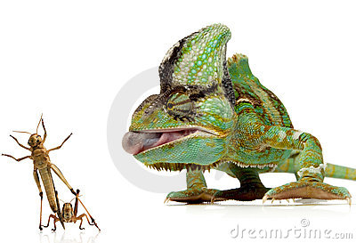 Chameleon and crickets