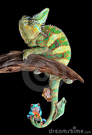 Chameleon with frog friends