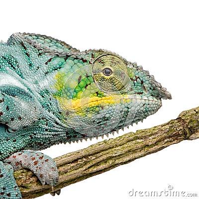 Chameleon Furcifer Pardalis - Nosy Faly