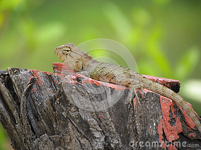 Chameleon or garden lizard basking on tree stump