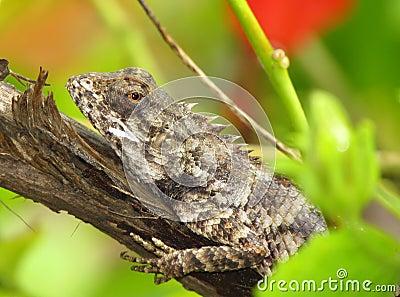 Chameleon or garden lizard basking on tree stump