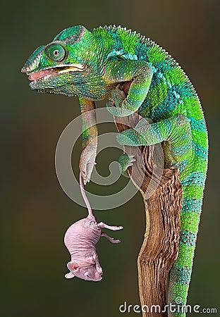 Chameleon holding rat